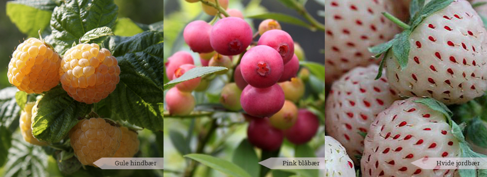 2 anderledes og sjove bær du selv kan dyrke i din have - hvide jordbær, gule hindbær og pink blåbær - Dyrkhaven.dk gør det nemt at dyrke have
