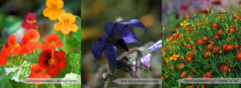3 anderledes og spiselige blomster du selv kan dyrke i din have - blå hjulkrone, farverige tallerkensmækker, appelsintagetes - Dyrkhaven.dk gør det nemt at dyrke din have