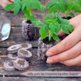 Såbrikker - Jiffy pots - er meget praktiske. Læg de tørre brikker i vand og vupti har du kort efter en smart stor såpotte, som du kan så dine frø i - Dyrkhaven.dk gør det nemt at dyrke din have