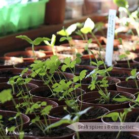 Spirer har brug for plads til at vokse i. En god idé er at plante dem over i små potter, hvor de kan vokse sig større, inden de skal udenfor i jorden - Dyrkhaven.dk gør det nemt at dyrke din have