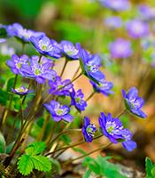 Blå og hvide anemoner er fine forårsblomster i haven - Dyrkhaven.dk gør det nemt at dyrke din have