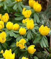 Erantis lyser op med sine gule blomster i en ellers vintergrå og trist have - Dyrkhaven.dk gør det nemt at dyrke din have