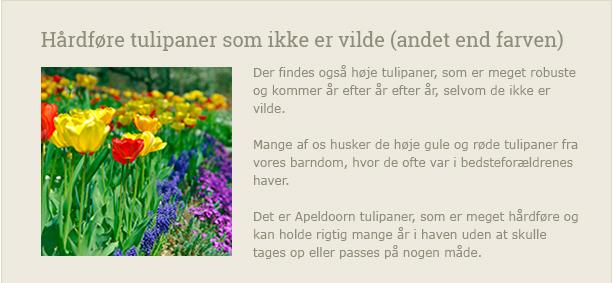 Vilde tulipaner holder i mange år. Det gør de høje gule og røde Apeldoorn-tulipaner også - Dyrkhaven.dk gør det nemt at dyrke din have