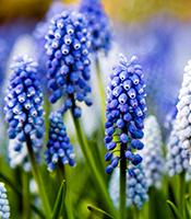 Perlehyacinter har de flotteste blå farver, men fås også i hvid og rosa - Dyrkhaven.dk gør det nemt at dyrke din have
