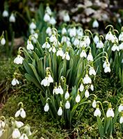 Vintergækker er nogle af de allerførste blomster i haven - Dyrkhaven.dk gør det nemt at dyrke din have