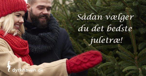 Få 7 tip til at vælge det bedste juletræ - Dyrkhaven.dk gør det nemt at dyrke din have