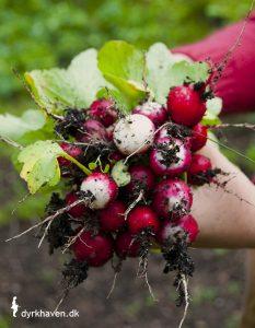 Radiser er en af de 14 nemmeste, spiselige planter, som du selv kan dyrke i din have - Dyrkhaven.dk gør det nemt at dyrke din have