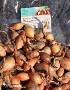 Løg er en af de 14 nemmeste, spiselige planter, som du selv kan dyrke i din have - Dyrkhaven.dk gør det nemt at dyrke din have