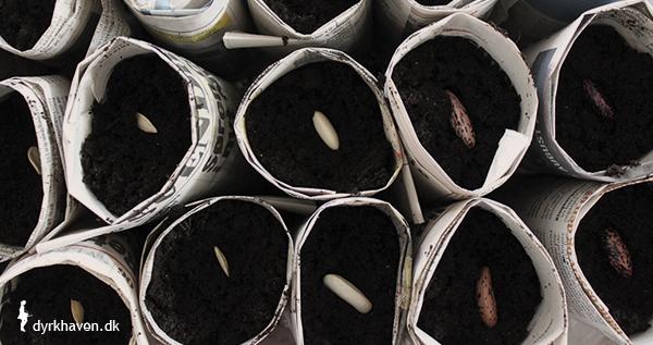For at lave potter til frø og spirer af avispapir, skal du efter at have rullet potterne fylde dem med såjord og ikke mindste frøene - Dyrkhaven.dk gør det nemt at dyrke din have