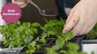 Når spirerne har fået det første sæt rigtige blade, er de klar til at blive priklet over i hver sin potte - Klub Dyrkhaven gør det nemmere at dyrke din have