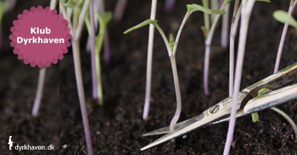 Sådan udtynder du spirer ved at klippe dem af med en saks - Klub Dyrkhaven gør det nemmere at dyrke din have