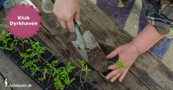 Når frø er spiret, og spirerne vokset lidt skal de enten udtyndes, prikles eller ompottes - Klub Dyrkhaven gør det nemmere at dyrke have