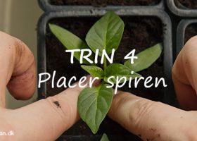 Sæt spiren midt i den nye potte, når du prikler - Klub Dyrkhaven gør det nemmere at dyrke have