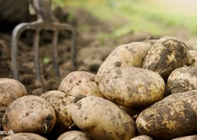 Planteguide om kartofler, det du skal vide fra læggekartoffel til høst af kilovis af lækre kartofler - Klub Dyrkhaven gør det nemmere at dyrke have