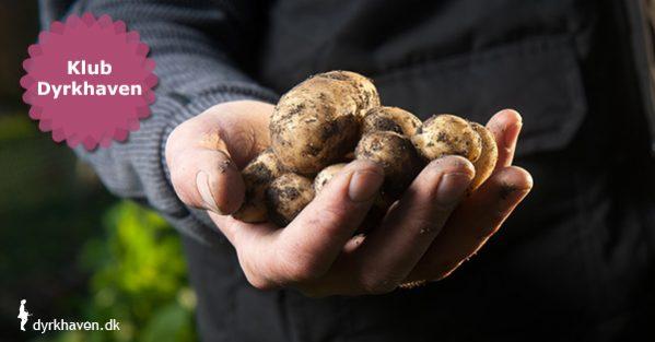 Kartofler kan nemt dyrkes i krukker, potter, spande, sække og alt muligt andet - Klub Dyrkhaven gør det nemmere at dyrke have