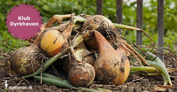 Stikløg eller sætteløg er den nemmeste måde at få hjemmedyrkede løg på - Klub Dyrkhaven gør det nemmere at dyrke have
