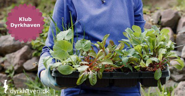 5 ting du bør tjekke, når du skal købe udplantningsplanter - Klub Dyrkhaven gør det nemt at dyrke have