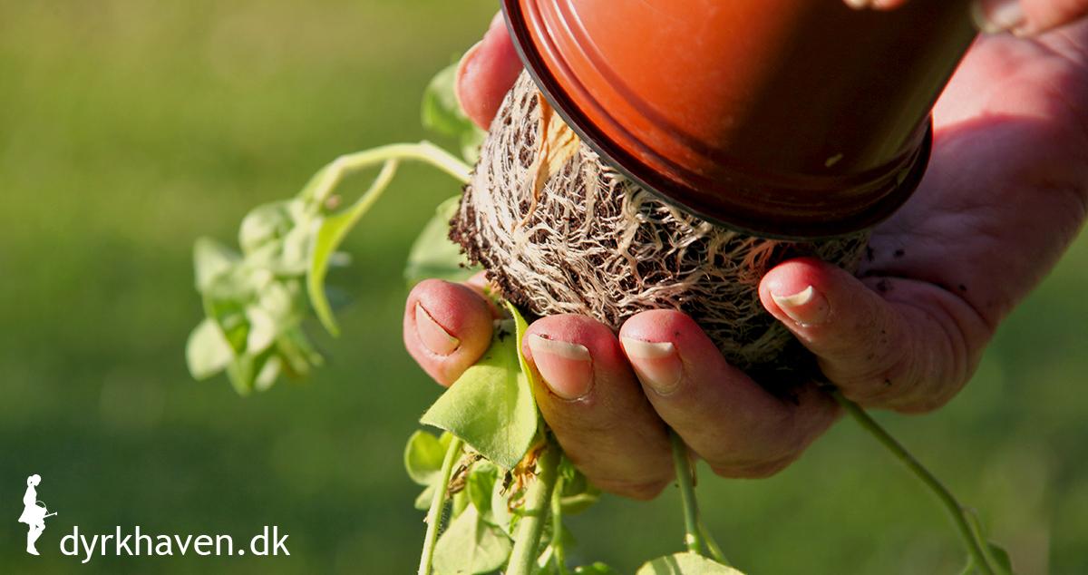 Husk at tjekke rødderne, når du køber udplantningsplanter - Klub Dyrkhaven gør det nemt at dyrke have