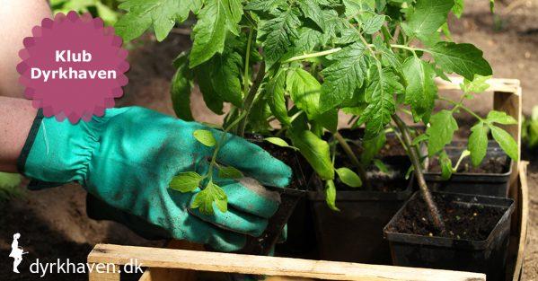 Det er vigtigt at afhærde forspirede planter, inden de plantes i haven. Afhærdning gør dem klar til udendørslivet - Klub Dyrkhaven gør det nemmere at dyrke have