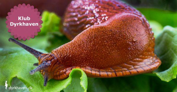 3 effektiver metoder til at slippe af med dræbersnegle - de mest effektive måder at slå dræbersneglene ihjel på - Klub Dyrkhaven gør det nemmere at dyrke have