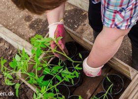 Tomater kan plantes ud i haven sidst i maj - Klub Dyrkhaven gør det nemmere at dyrke have