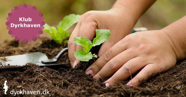 Sådan udplanter du forspirede eller købte udplantningplanter i din have trin for trin - Klub Dyrkhaven gør det nemt at dyrke have