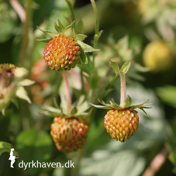Denise undrer sig over, hvorfor hun kun får små jordbær på sine jordbærplanter - Få svaret på spørgsmålet om, hvordfor hun får små jordbær i Dyrkhaven.dks brevkasse
