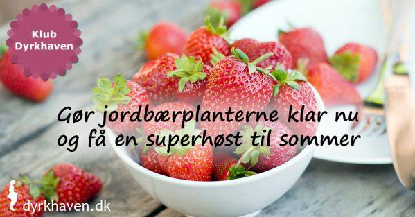 Gør jordbærplanterne klar i sensommeren og få en ekstra god høst næste år - Klub Dyrkhaven gør det nemmere at dyrke have