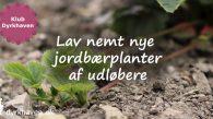 Lav nemt nye jordbærplanter gratis af udløbere - Klub Dyrkhaven gør det nemmere at dyrke have