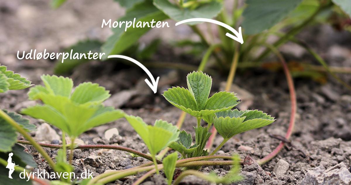 Se forskellen på morplanten og udløberplanter til jordbærplanter - Klub Dyrkhaven gør det nemmere at dyrke have