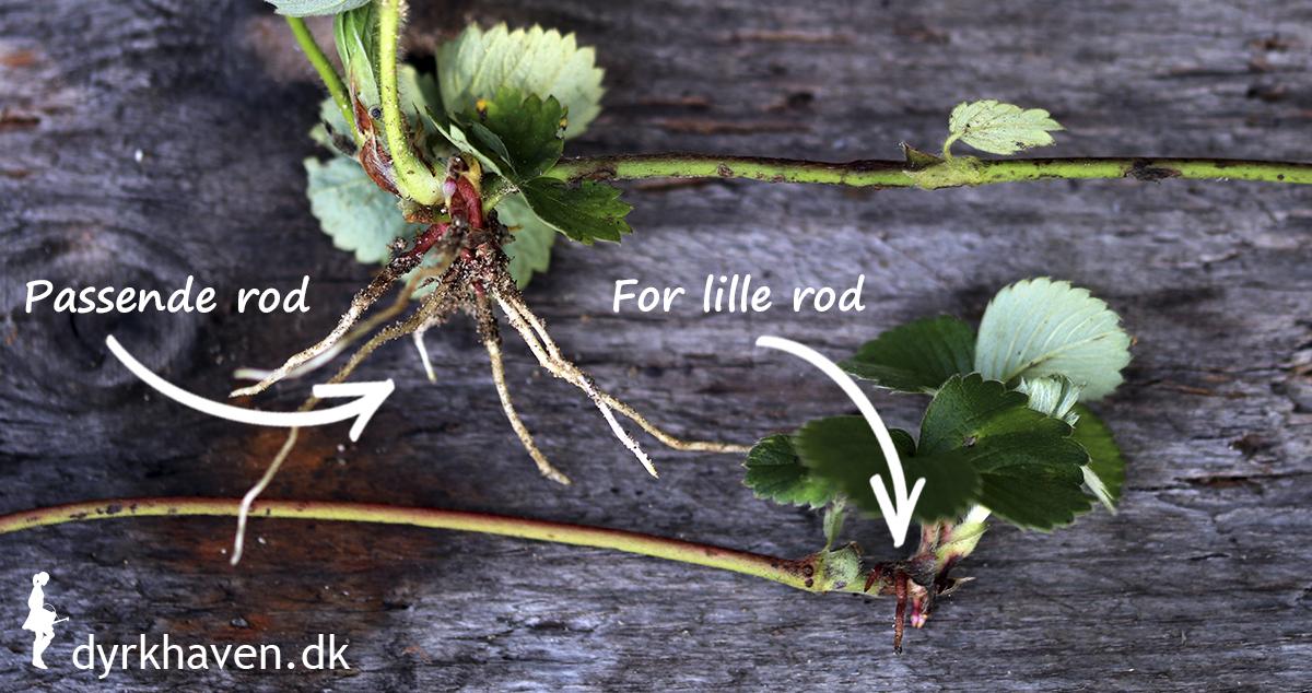 Rødder på jordbærplanter skal have en vis størrelse for at kunne flyttes - Klub Dyrkhaven gør det nemmere at dyrke have