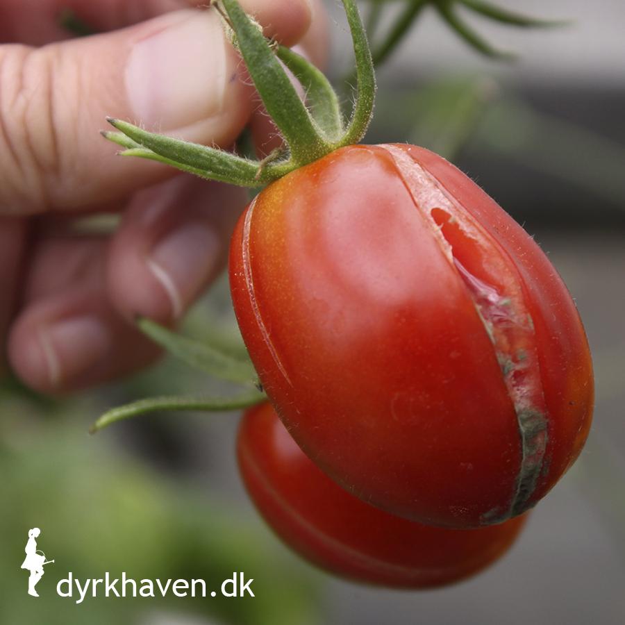 Hvorfor sprækker mine tomater?