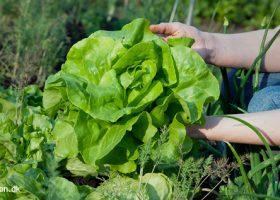Salat er nem at dyrke i haven. Den er også billig. En enkelt pose frø giver mere end rigelig salat til halvdelen af året - Klub Dyrkhaven gør det nemmere at dyrke din have