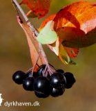 Få tips til, hvordan du kan bruge de sure aroniabær - Klub Dyrkhavens brevkasse hjælper dig med problemerne i din have