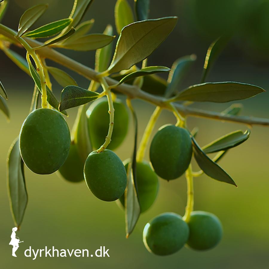 Hvordan beskytter man et oliventræ om vinteren?