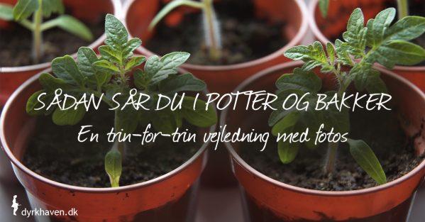 Trin-for-trin vejledning til at give frøene den bedste start, når du sår i potter og bakker - Klub Dyrkhaven gør det nemmere at dyrke din have