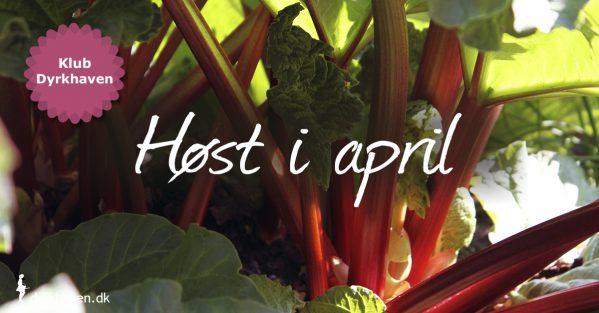 Rabarber er en af de bedste ting, som vi kan begynde at høste i haven i april. Men der er mere, som du kan se på listen i artiklen - Klub Dyrkhaven gør det nemmere at dyrke din have