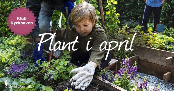Se listen over de bærbuske, frugttræer, flerårige grøntsager pg blomster, du med fordel kan plante i april - og dem du ikke skal plante endnu - Klub Dyrkhaven gør det nemmere at dyrke din have