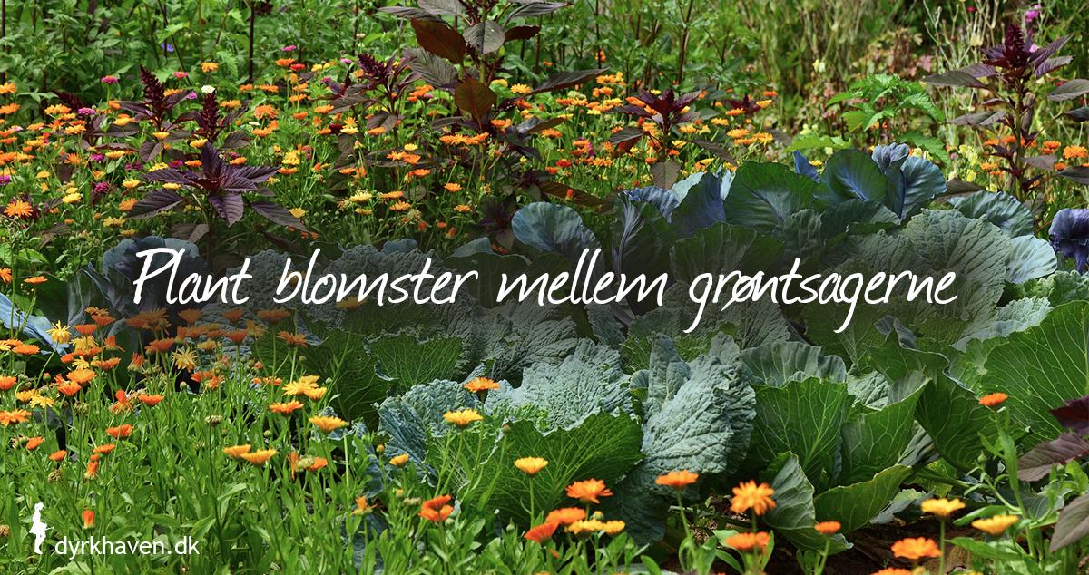 Få en flottere og mere dyrevenlig køkkenhave ved at plante blomster mellem grøntsagerne - Klub Dyrkhaven gør det nemmere at dyrke din have