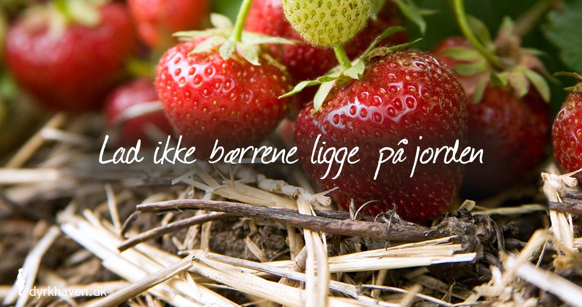 Få rene jordbær ved at lægge gran, halm eller ukrudtsdug omkring dem - Klub Dyrkhaven gør det nemmere at dyrke din have