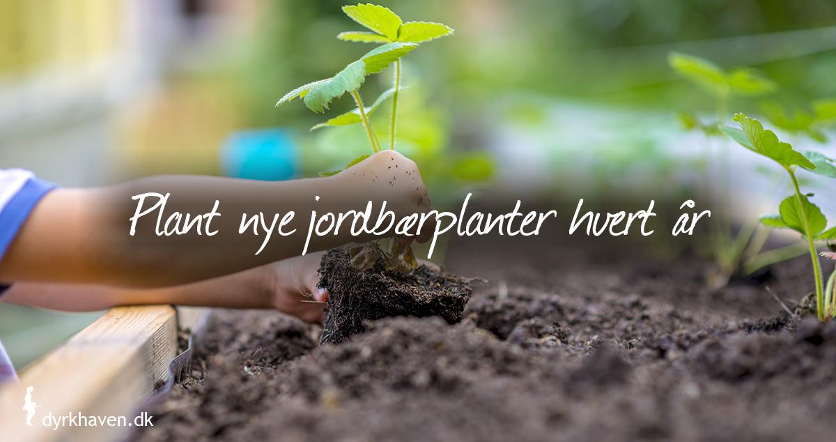 Plant nye jordbærplanter hvert år, de giver nemlig bedst på 2. år - Klub Dyrkhaven gør det nemt at dyrke din have