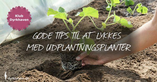Få tips og tricks til at give dine udplantningsplanter den bedste start på livet - Klub Dyrkhaven gør det nemmere at dyrke din have