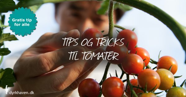 Få masser af tips og tricks til at lykkes med tomater - Kub Dyrkhaven gør det nemmere at dyrke din have