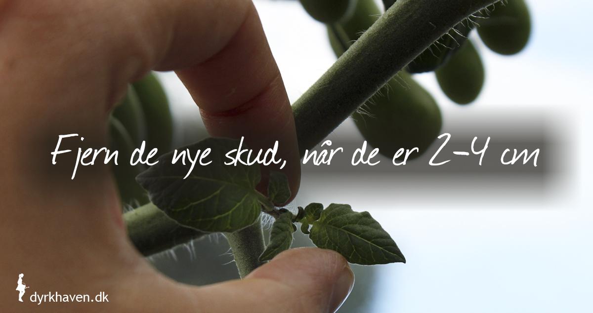 Knib de små skud over bladene af, ellers bliver din tomatplante til en vildtvoksende jungle - Klub Dyrkhaven gør det nemmere at dyrke din have