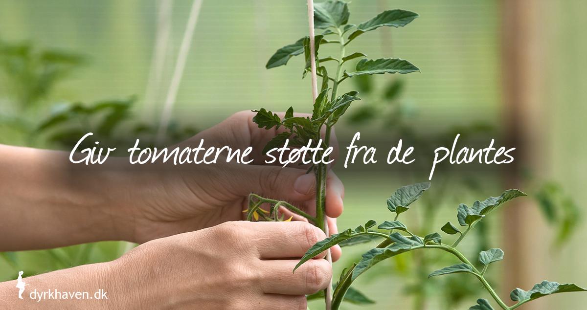 Støt tomatplanterne allerede fra du planter dem, for de vokser forrykt hurtigt og kan knække, når tomaterne kommer frem - Klub Dyrkhaven gør det nemmere at dyrke din have