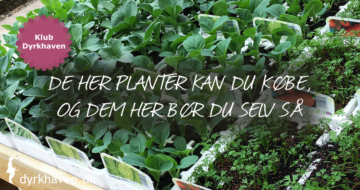 Se planterne du godt kan købe som udplantningsplanter, og hvilke du selv bør så - Klub Dyrkhaven gør det nemmere at dyrke din have