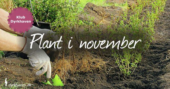 Det her kan du plante i november - Dyrkhaven.dk