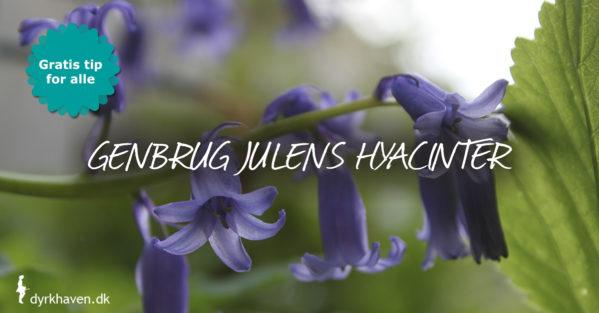 Genbrug julens hyacinter i haven og få masser af blomstrende hyacinter til foråret - Dyrkhaven.dk