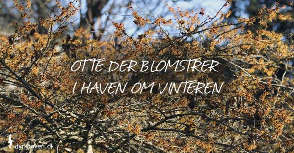 Få ideer til otte buske og traer, der blomstrer mdt om vinteren fra december over januar til februar - Dyrkhaven.dk gør det nemt at dyrke have