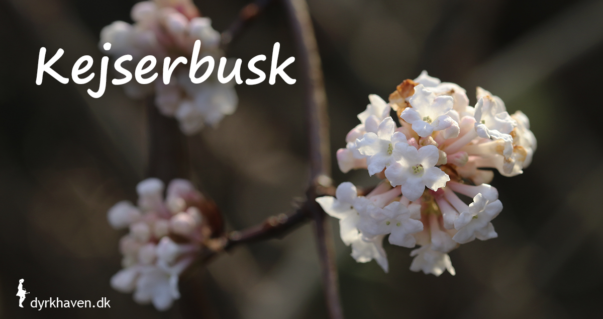 Kejserbusk blomstrer om vinteren og duften er dejlig vaniljeagtig - Dyrkhaven.dk gør det nemt at dyrke have